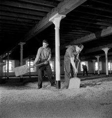 Men shovelling malt  1951.