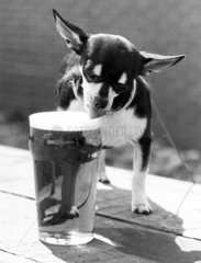 Chihuahua with a pint of beer  June 1981.