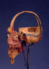 Prepared anatomical skull  1870-1900.