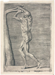 Anatomical study of male musculature; man breaking a branch  c 1555.