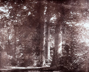 Beech trees at Lacock  c 1841.