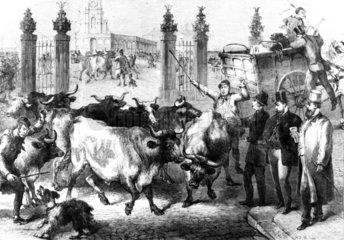 Inspecting foreign cattle  Metropolitan Market  King's Cross  London  1865