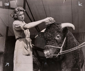 Bull being groomed at agricultural show  31 August 1948.