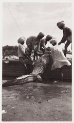 Men with crocodile  India  c 1910.