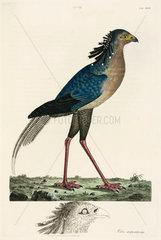 Secretary Bird  1776.