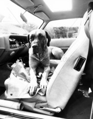 Dog with chewed seatbelt  May 1984.