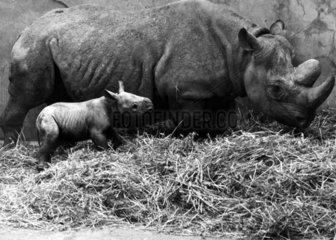 Baby black rhino and mother  Chester Zoo  February 1971.