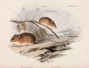 Two types of mouse  c 1832-1836.