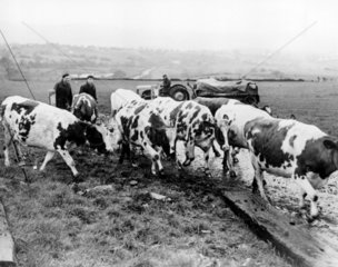 Herding cows during a foot-and-mouth diseas