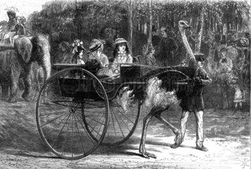 Ostrich cart   1875.