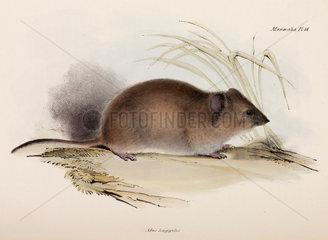 Long-haired or plague rat  Australia  c 1832-1836.