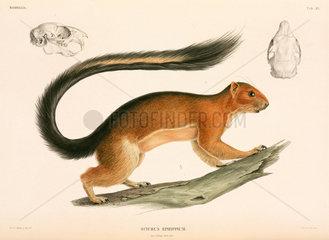 Squirrel  Indonesia  1839-1844.