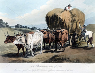 'A Gloucestershire Team of Oxen'  c 1818.