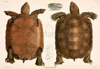 Tortoises  Indonesia  1839-1844.