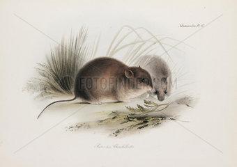 Mouse  Tierra del Fuego  South America  c 1832-1836.