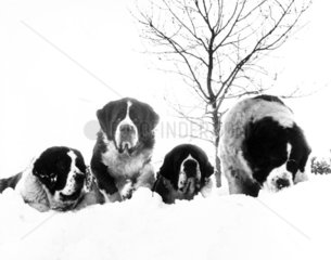 St Bernards in the snow  December 1986.