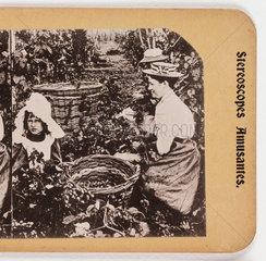 'In a Kent Hop Garden'  about 1900 .