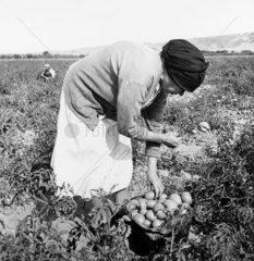 Mexican migrant woman picking tomatoes  California  November 1938.