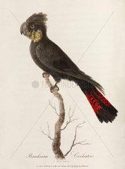'Banksian Cockatoo'  1789.
