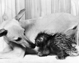 Dog and baby porcupine  February 1977.