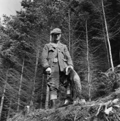 Gamekeeper holding dead badger  1951.