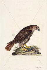 Hawk  1777.