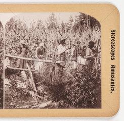 'Cutting Sugar Cane'  about 1900 .