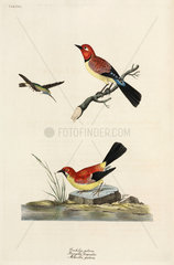 Hummingbird  chaffinch and wagtail  1776.