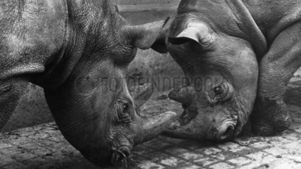Male and female rhinos fighting  Belle Vue Zoo  Manchester  August 1966.