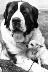 St Bernard and chihuahua  June 1970.