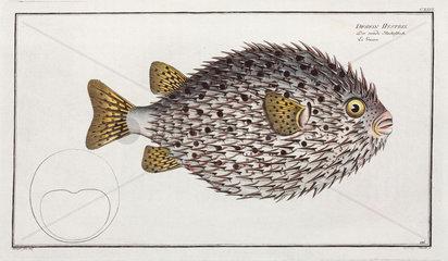 Spot-fin porcupinefish  1785-1788.