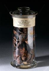 Jar containing kola nuts  1830-1920.