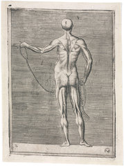 Anatomical study of male musculature; man holding a rope  c 1555.