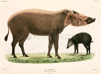Adult and young bearded pig  Indonesia  1839-1844.