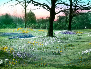 'Crocuses in Finsbury Park  London'  c 1910-1915.