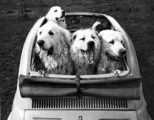 Car full of dogs  1960s.
