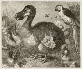 The Dodo  1848.