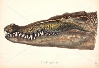Estuarine or Saltwater Crocodile  Asia  1837-1844.