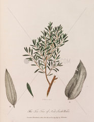 'The Tea-Tree of New South Wales'  1789.