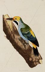 Woodpecker  1776.