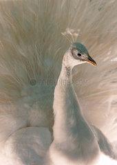 White Peacock  1999.