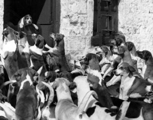 A new dog arrives at the Holcombe Hunt Kennels  Lancashire  April 1963.