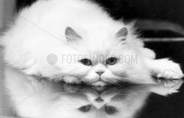 Pedigree Persian cat  December 1983.