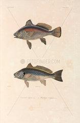 Two Black Sea fish  1837.