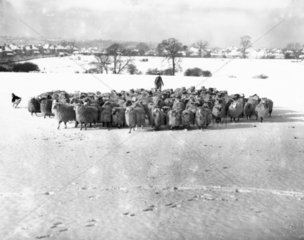Herding sheep in a snow-covered field  27 January 1935.