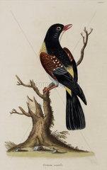 Bird of the Coraciidae family  1776.