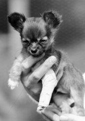Chihuahua puppy with a bandaged leg  May 1987.