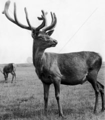 Stag  Lyme Park  August 1961.