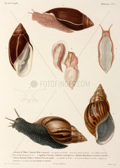 Snails  New Guinea  Madagascar and Mauritius  1822-1825.