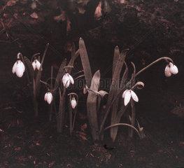 Snowdrops  c 1910-1915.